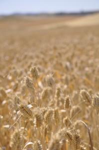 wheatlife_3